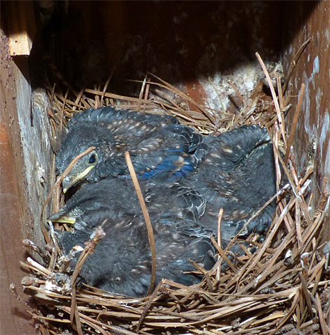 Four nestling bluebirds snug in their nest at the Cow Pasture (7/1/14).