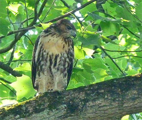 Immature Red-tailed hawk in a Tulip Tree.