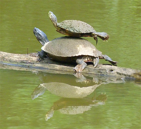 Two male yellow-bellied sliders.