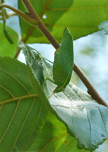 On the same alder as the hornet above, what looks like an anglewing katydid hides in plain sight.