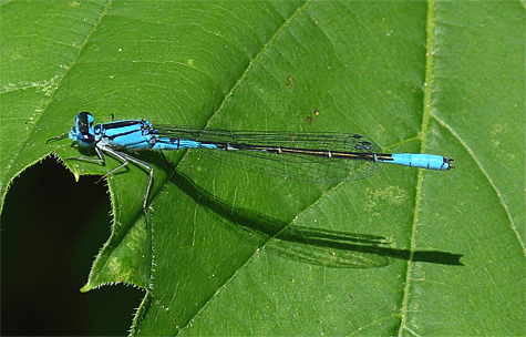 Azure bluet (Enallagma aspersum). Find this near shallow ponds with few predators.