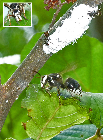 Bald-faced hornet gleans sweets from an alder leaf. Named for white (bald) markings on the face). Note the aphid colony and ants above the hornet.