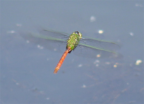 Comet darner (Anax longipes). Small ponds and lakes are the best places to see these large colorful darners.