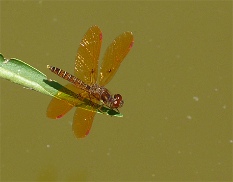 Eastern amberwing (Perithemis tenera). Another common dragonfly that's found at most ponds and lakes. Although only about an inch long it's difficult to overlook these dragons.
