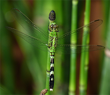 Eastern pondhawk (Erythemis simplicicollis).Young males are green like this female.
