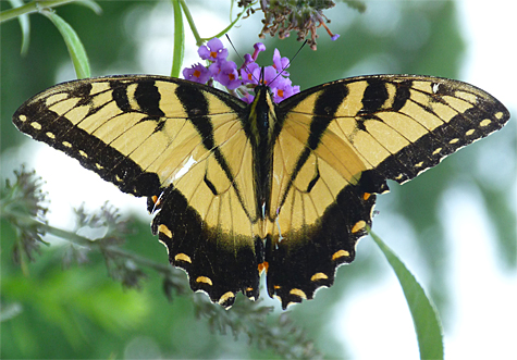 One of very few eastern tiger swallowtails I've seen this year.