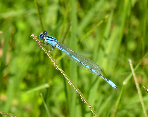 Familiar bluet (Enallagma civile). Look for this common damsel at ponds and slow streams.