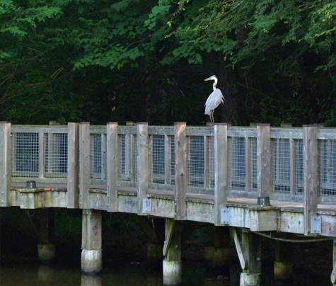 After closing time, the resident great blue heron comes out enjoys view from the boardwalk's railing