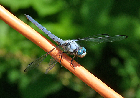 Great blue skimmer (Libellula vibrans). The largest of the skimmers, sometimes seen in great swarms.