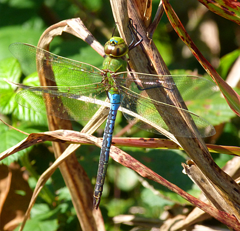 Common green darner (Anax junius). You could run into one of these just about anywhere you roam.