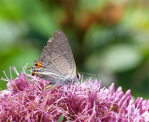 A gray hairstreak sucks nectar from joe-pye-weed.