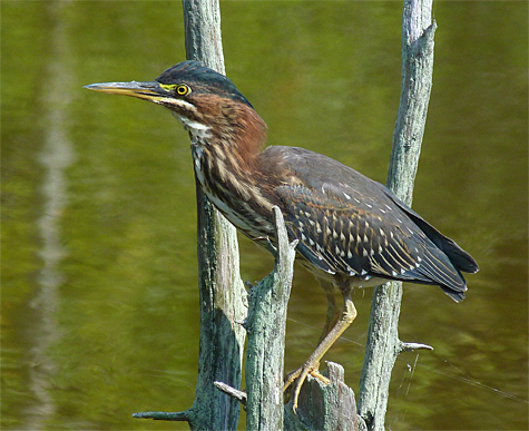 An immature green heron searches for a good fishing spot.