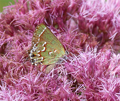 A juniper hairstreak also enjoys the nectar Joe pye weed's offerings.