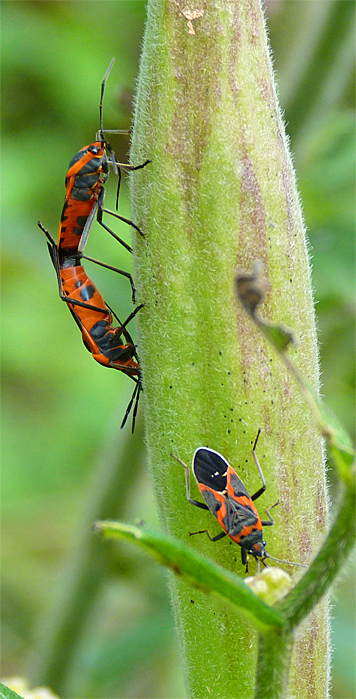 The large milkweed bug are mating on the seed pod which will become the nursery for their offspring (that's a small milkweed bug below).