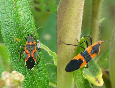 A small milkweed bug (left) and a large milkweed bug on butterfly weed in Catch the Wind. Large milkweed bug a more common here at the Museum than the smaller variety.