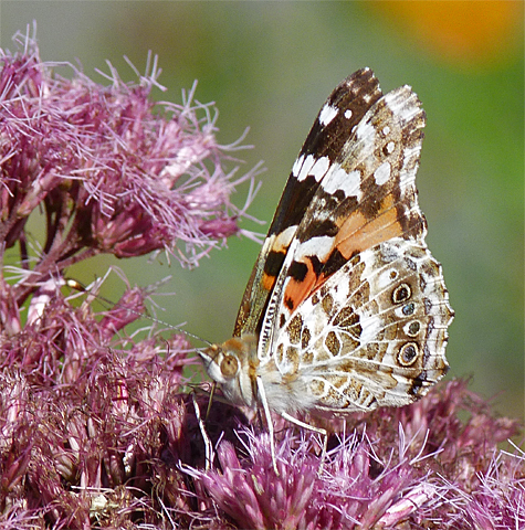 A painted lady, an essentially southwestern species, usually shows up in our area each year.