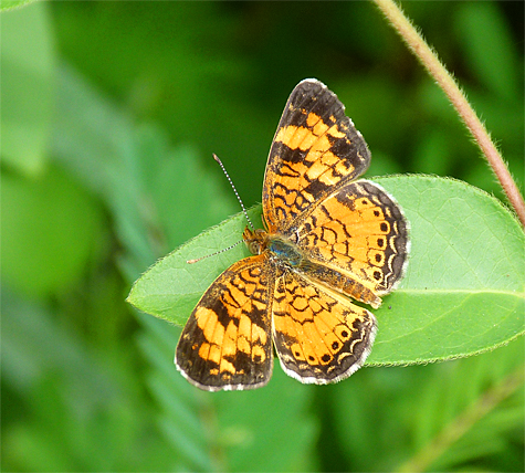 a pearl crescent rest before flying off to nectar.
