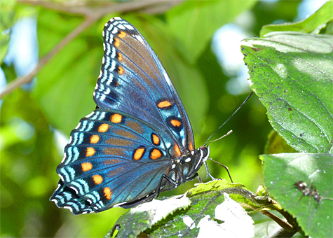 I'n sometimes asked why the red-spotted purple is named so, here's why. Not quite red, and not entirely purple, but there you have it.