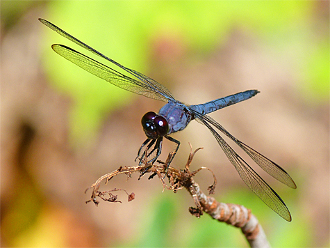 Slaty skimmer (Libellula incesta). An all dark and common skimmer.