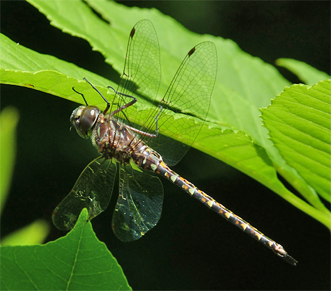 Taper-tailed darner (Gomphaeschna antilope). I've only seen two of these small darner at the Museum, both were in June.