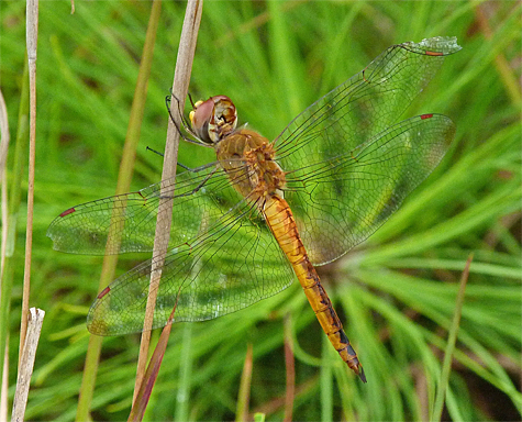Wandering glider (Pantala flavescens). This dragonfly gets around. Look for it just about anywhere, including mall parking lots.