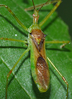 The assassin bug from the previous post (Zelus luridus).