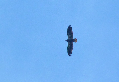 This immature bald eagle making is probably making its first trip south.