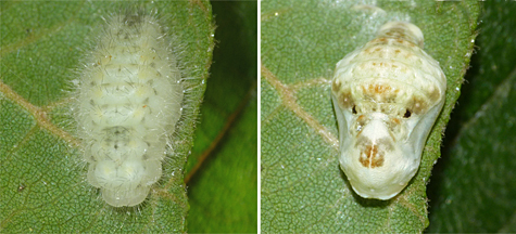 The caterpillar readying to pupate (left) and the fully formed chrysalis (9/3 & 9/4).