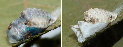 The chrysalis darkening (left) and the day after eclosure (9/14 & 9/16).
