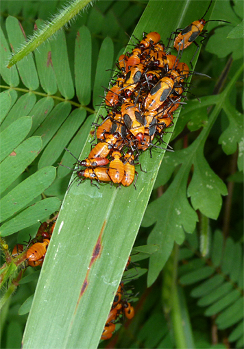 The rest of the milkweed bug clan huddled together on a blade of grass.