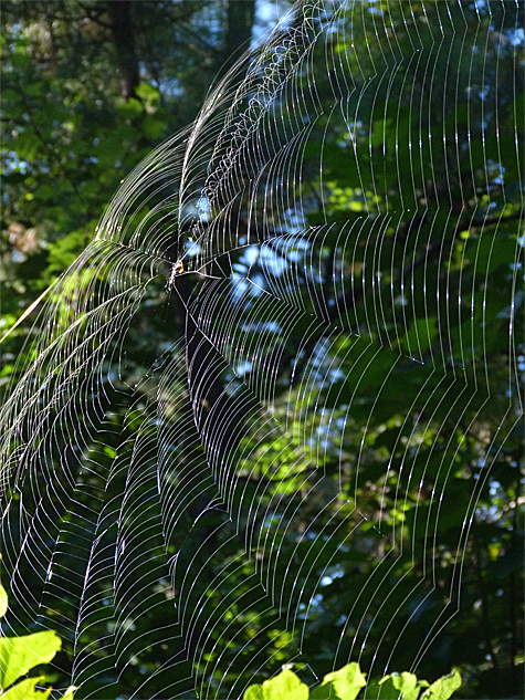 An orb weaver web stretched across the path.