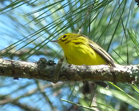 A prairie warbler forages in a pine in Explore the Wild.