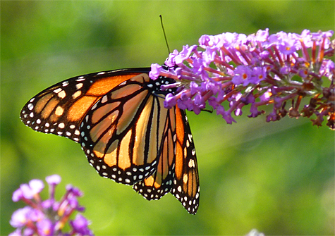 Monarch butterfly (female).