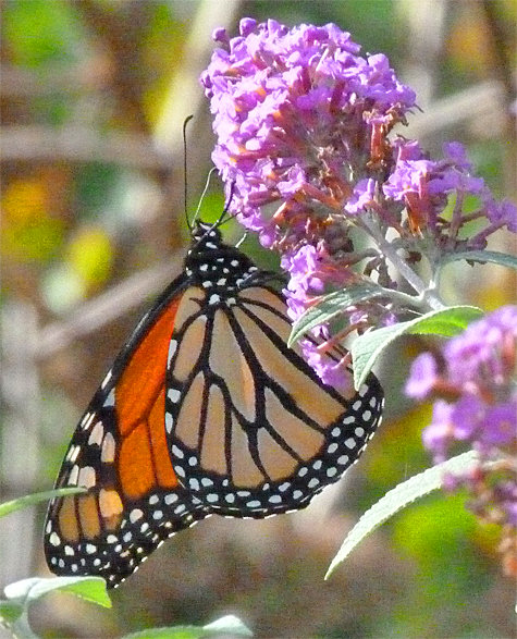 Monarch butterfly (male).