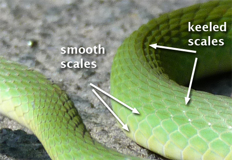 close shot showing keeled scales on back of rough green snake.