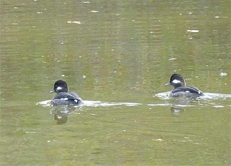 Now, there are two buffleheads.
