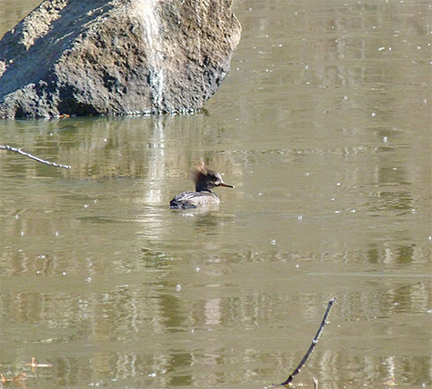 One lone female merganser on the pond this morning.