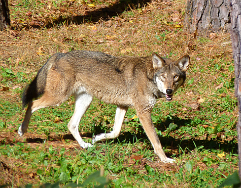 Male red wolf checking out his new digs.