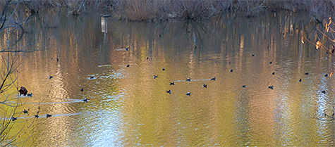 Some of the 35+ hooded mergansers out on the Wetlands (12/17/14).