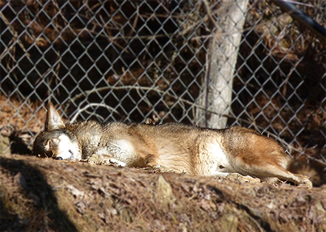The male red wolf enjoying the warm sunshine.