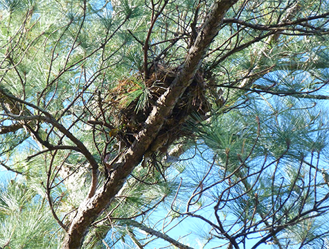 The nest is overhanging the boardwalk in Explore the Wild.
