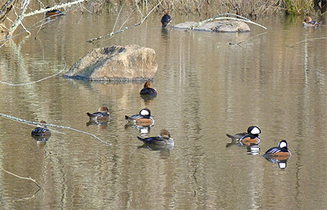A small tight-knit group of mergansers.