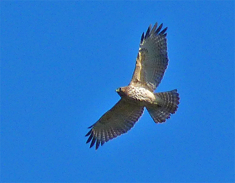 A red-shouldered hawk soars in the clear blue sky above the Wetlands in Explore the Wild.