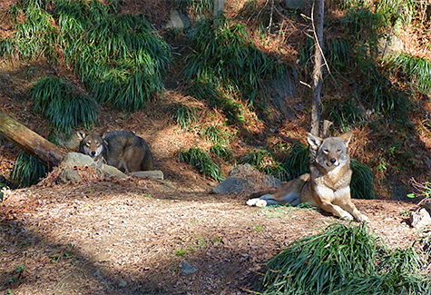 Female red wolf 1794 relaxes in her enclosure (that's male male left, rear).