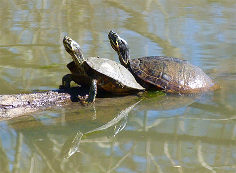 Two yellow-bellied sliders bask in the sun.