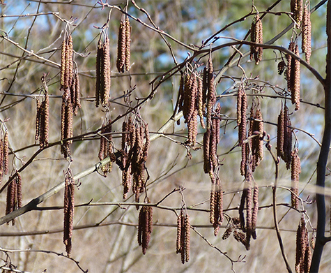 These catkins have yet to mature.