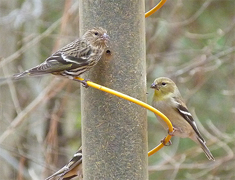 Pine siskin (left) and American goldfinch.