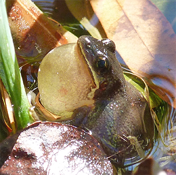 Upland chorus frog belts out a tune.