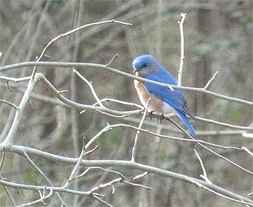 Watching me from afar, this bluebird flew from the box as I approached (3/17/15).