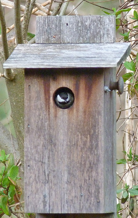 One of two chickadees inspecting the nest box at the Sail Boat Pond (3/17/15).